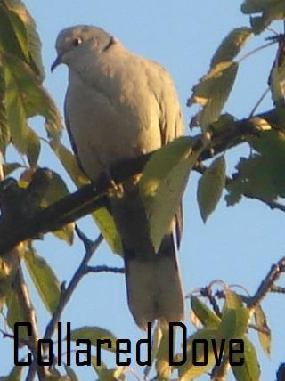 File:Collared Dove.jpg