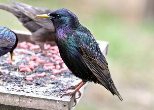 Starling. .