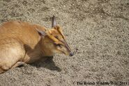 Female Muntjac