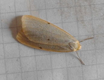 Four-dotted footman
