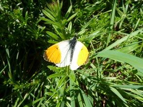 Orange Tip Wings