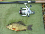 Amazon Wood Crucian