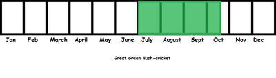 Great Green Bush-cricket TL