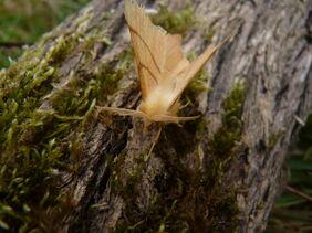 Ennomos quercinaria - August Thorn