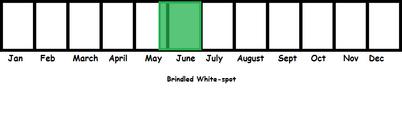 Brindled White-Spot TL
