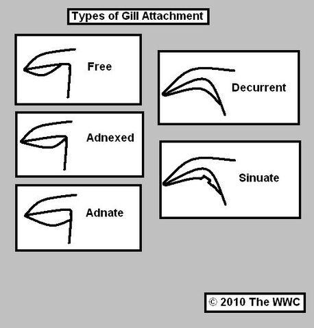 File:Gill Attachment.JPG