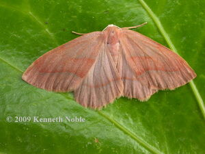 Barred red