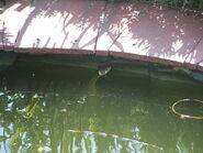 Grass snake in pond