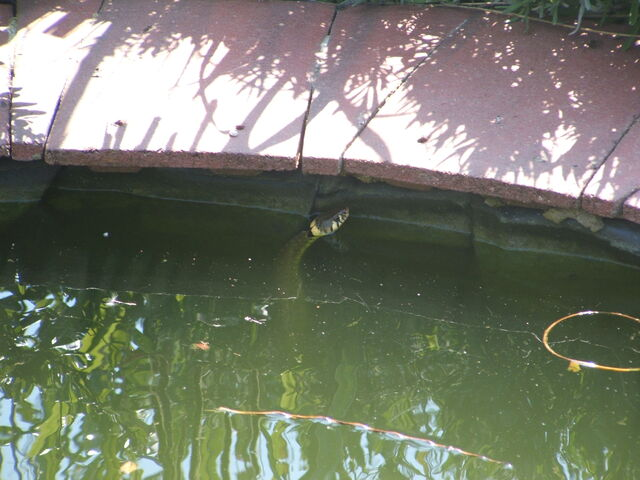 File:Grass snake in pond.jpg