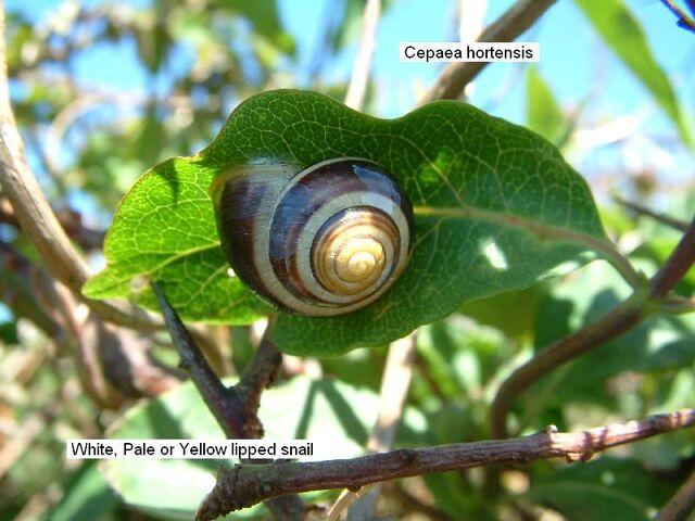 File:Yellow Lipped Snail.jpg