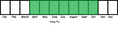 Crane Fly TL