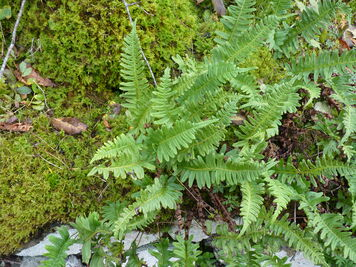 Common Polypody