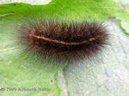 Ruby tiger larva - photo K.Noble