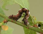 Early Moth Larva ~ Ian Kimber