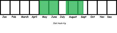 Oak Hook-tip TL