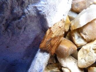 Light Brown Apple Moth Male