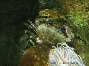 VelvetSwimmingCrab1
