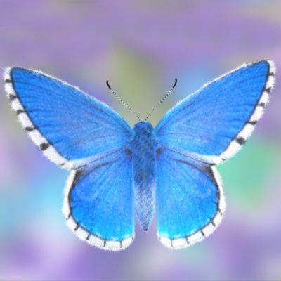 File:Adonis blue butterfly.jpg