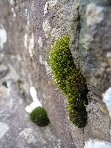 Grey Cushion Moss