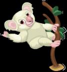 Albino koala an