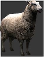 Sheep thumb