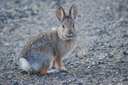 Nuttall's Cottontail