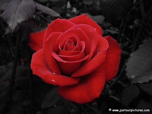 File:Valentinesdayredrose.jpg
