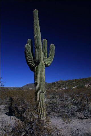 File:Saguaro-cactus.jpg