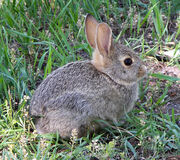 Rabbit in montana-1-