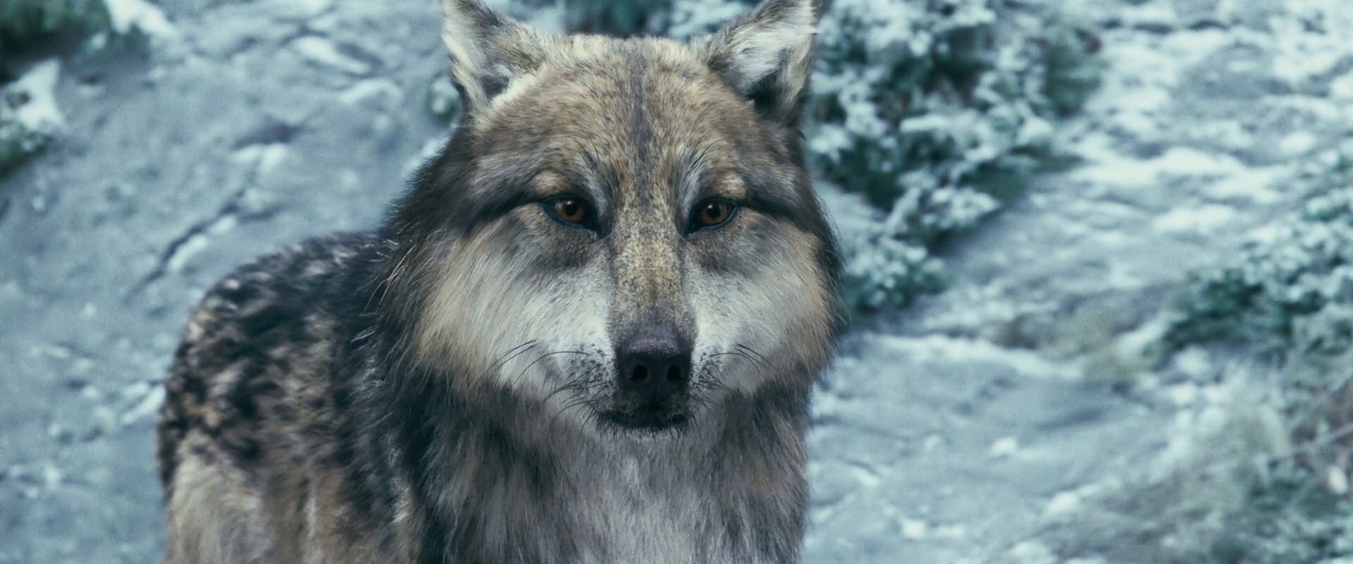 Image - Werewolves 12.png | Twilight Saga Wiki | FANDOM ... Twilight Wolf Pack Seth