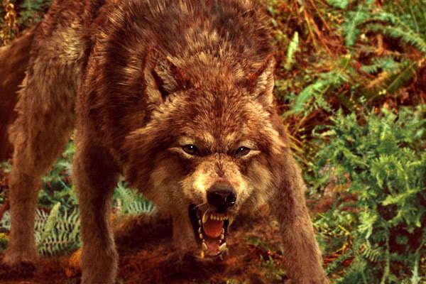 File:Jacob-wolf-form-twilight-series-14750775-600-400.jpg