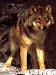 Polls Redwolf 5335 511435 answer 4 xlarge