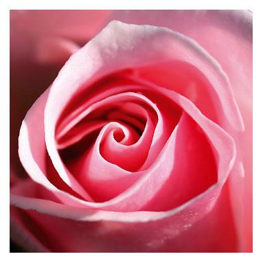 File:Rose Pink.jpg