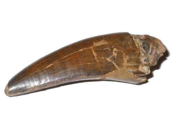 File:T-rex tooth.jpg