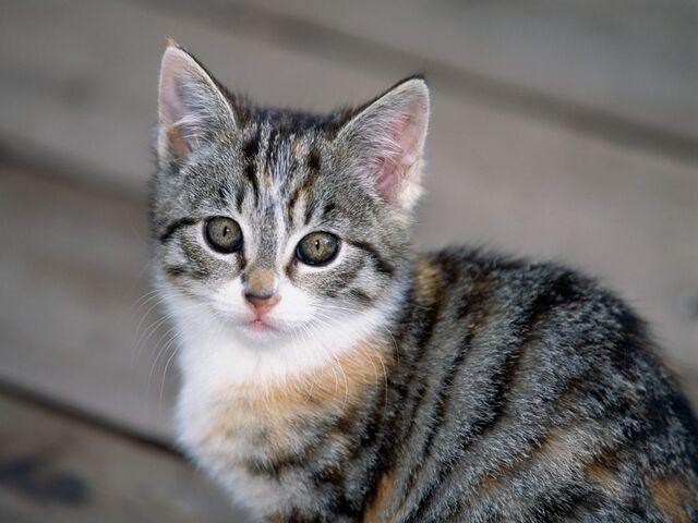 File:Tabby Kitten.jpg