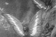 Butterfly Morpho v
