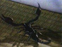 File:Black Scorpion.jpg