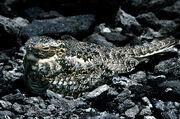 Common Nighthawk on it's nest - Digitized Velvia Slide film