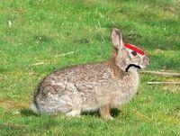 Mad Rabbit