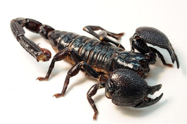 File:State Desert Insect-New South African Scorpion.jpg