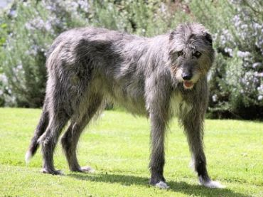 File:State Dog-5 - Irish Wolfhound.jpg