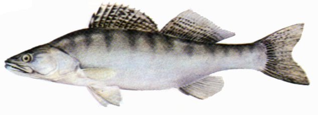File:Pike-perch.png