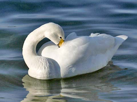 File:PB MG 4727-Whooper Swan 10x15.jpg