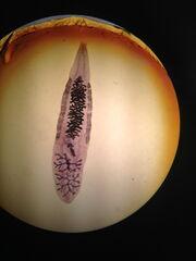 Adult Clonorchis sinesis