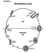 5257 Life cycle Diphyllobothrium latum