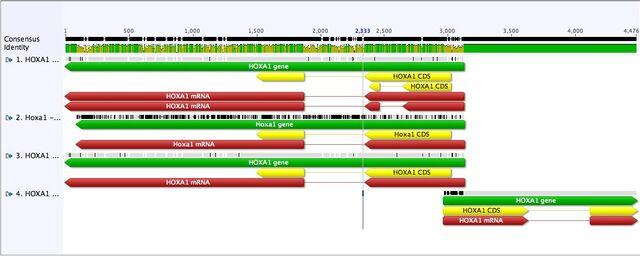 File:HOXA1 Align LG.jpg