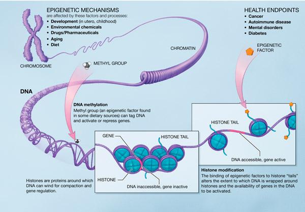 File:Epigenetic mechanisms.jpg