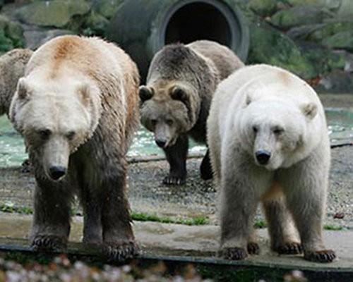 File:Grolar bear.jpg