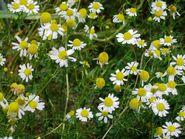 Herbshop - Echte Kamille (Matricaria recutita)