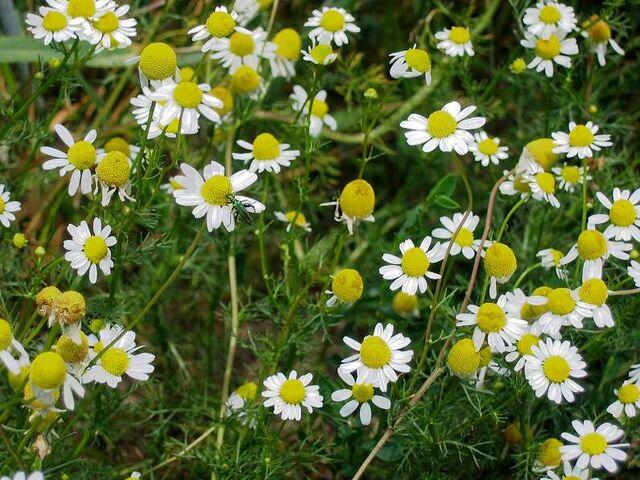 File:Herbshop - Echte Kamille (Matricaria recutita).jpg